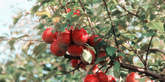 ¡Inicia la temporada de las Manzanas!